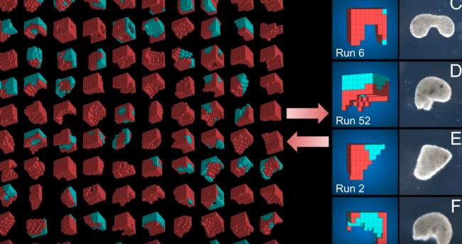 Xenobots y algoritmo evolutivo